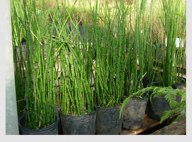 equisetum arvense o cola de caballo 3l plantas a ars